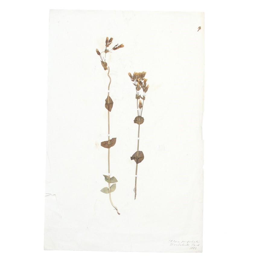 アンティーク押し花